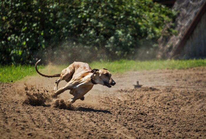 Trouver un bon chien de chasse